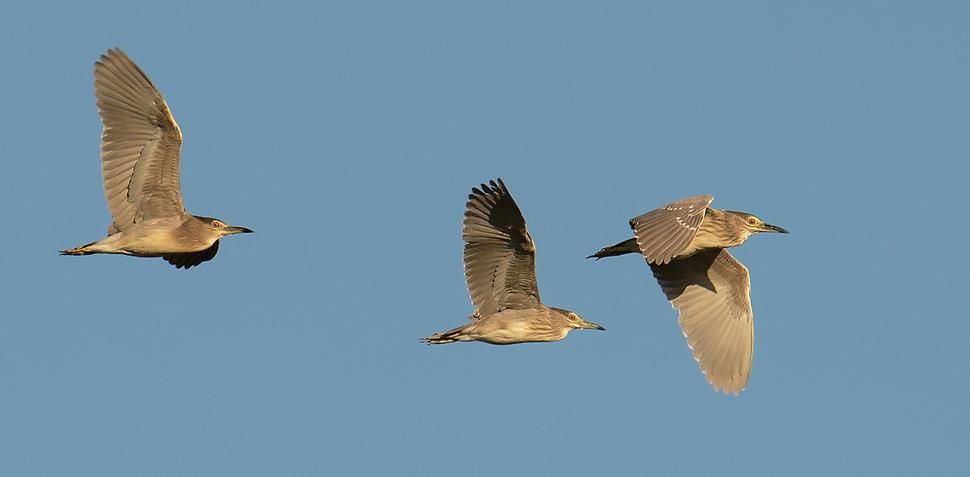 Vogelfotografie Kwak.