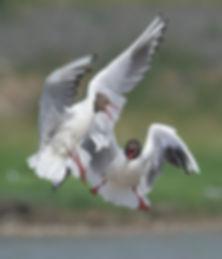 Vogelfotografie Texel. Kokmeeuw.