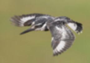 Vogelfotografie Bird in flight Bonte IJsvogel.