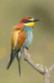 Vogelfotografie, Bijeneter