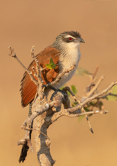White Browed Coucal (Wenkbrauwspoorkoekoek)