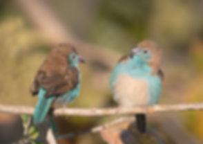 Blue Waxbill (Angolees Blauwfazantje)