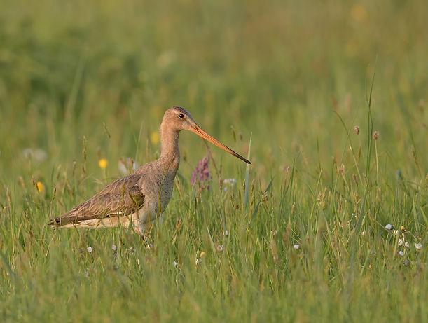 Vogelfotografie Texel.  Grutto in een bloemrijk weiland.