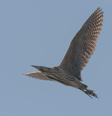 Vogelfotografie Texel. Roerdomp.