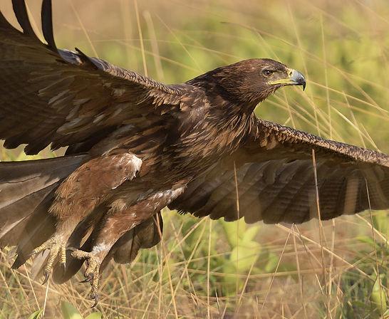Vogelfotografie Steppearend.