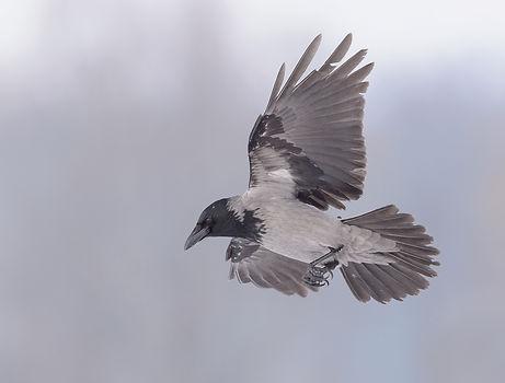 Vogelfotografie Polen, Bonte Kraai