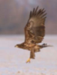 Vogelfotografie Bird in flight Zeearend.