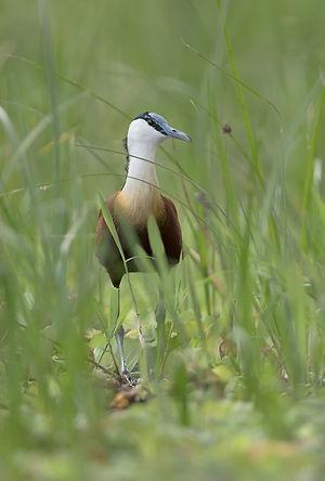 African Jacana (Lelieloper)
