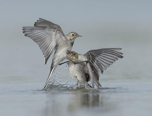 Vogelfotografie Witte Kwiktaart.