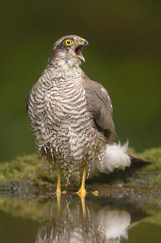 Vogelfotografie Hongarije, Sperwer..