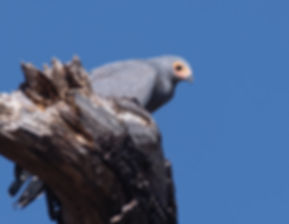 African Harrier Hawk (Kaalkopkiekendief)