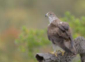 Vogelfotografie Havikarend.