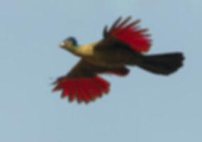 Vogelfotografie Bird in flight Purperkuiftoerako.