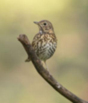 Vogelfotografie, Zanglijster