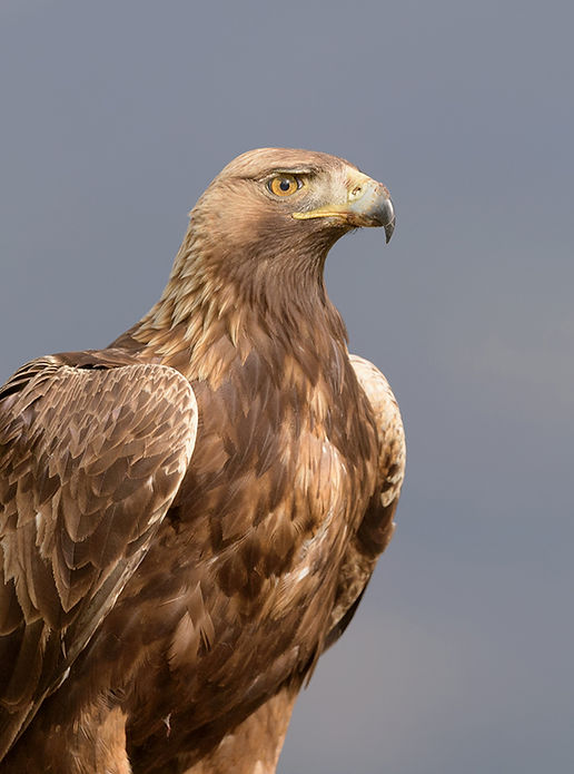 Vogelfotografie Steenarend.