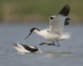 Vogelfotografie, Kluten balts