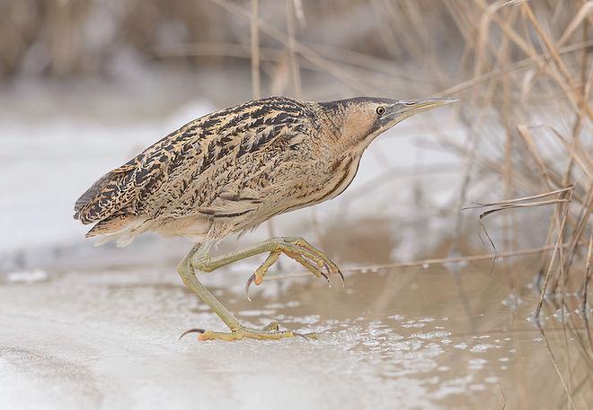 Vogelfotografie Roerdomp