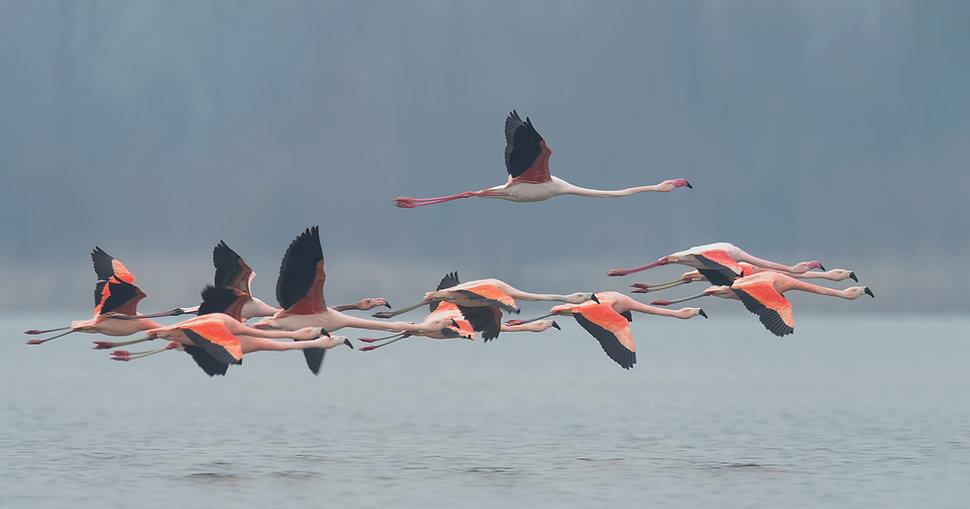 Wad- en Kustvogels, Chileense Flamingo.