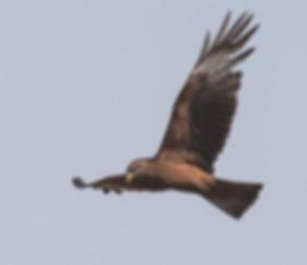 Vogelfotografie Geelsnavel Wouw.