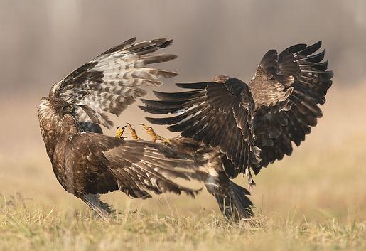 Vogelfotografie, Hongarije, Buizerd, Common Buzzard.