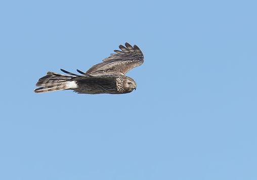 Vogelfotografie Texel. Blauwe Kiekendief.