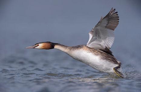 Fuut vliegt met hoge snelheid over water.