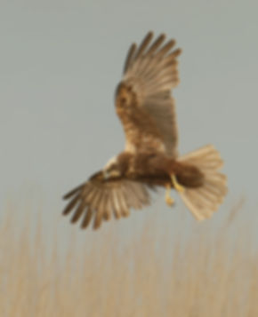 Vogelfotografie Bird in flight Bruine Kiekendief.