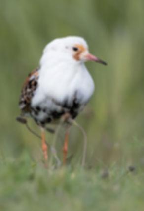Vogelfotografie Kemphaan.