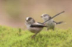 Vogelfotografie, Staartmees