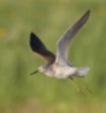Vogelfotografie Bird in flight Groenpootruiter.