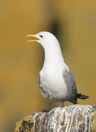 Vogelfotografie Isle of May, Drieteenmeeuw.