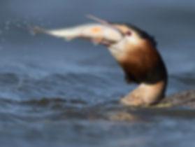 Vissen vangen kan de Fuut als de beste.