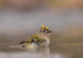 Goudhaan kleinste vogel van Europa!