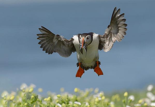 Papegaaiduiker zet landing in om visjes te brenge voor z'n jongen.
