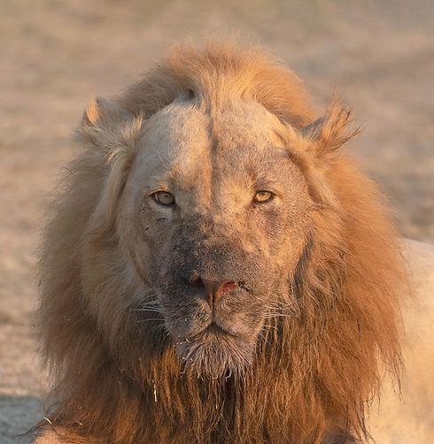 Lion Ginger (Leeuw)