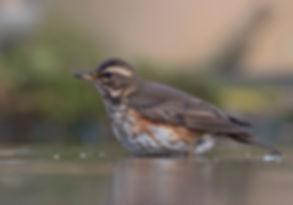 Vogelfotografie Koperwiek.