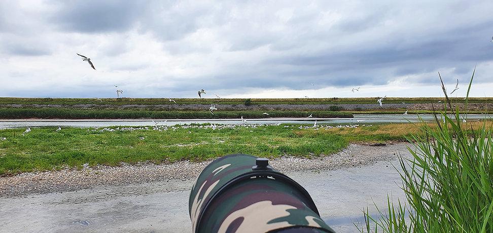 Vogelfotografie, Grote Stern, Wagejot Texel.