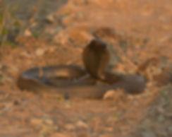 Black-Necked Spitting Cobra (Zwarthalscobra)