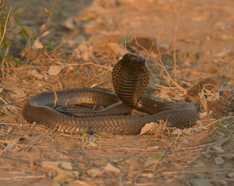 Black-Necked Spitting Cobra (Zwarthalscobra)