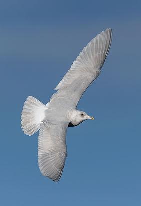 Vogelfotografie IJsland,  Kleine Burgemeester.