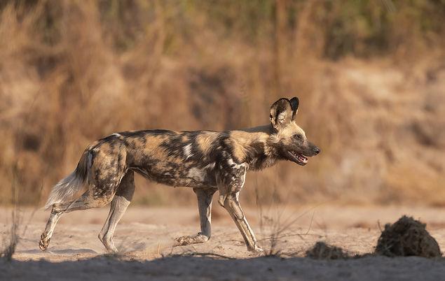 Wild Dog (Wilde Hond)