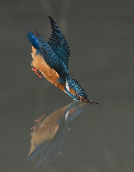 Vogelfotografie IJsvogel.DSC4000.jpg