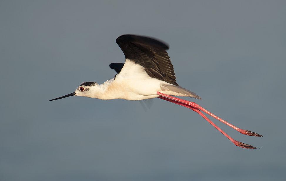 Vogelfotografie Lesbos, Steltkluut.