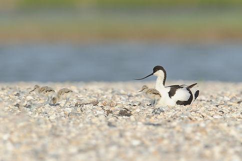 Vogelfotografie Texel. Kluut.