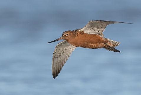 Vogelfotografie Texel.  Vluchtfoto Rosse Grutto.