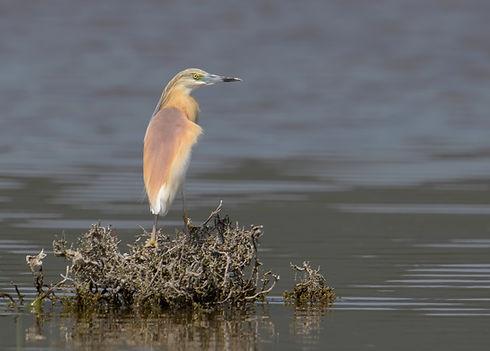 Vogelfotografie Lesbos, Ralreiger.