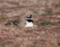 Vogelfotografie, Bontbekplevier aan het broeden.