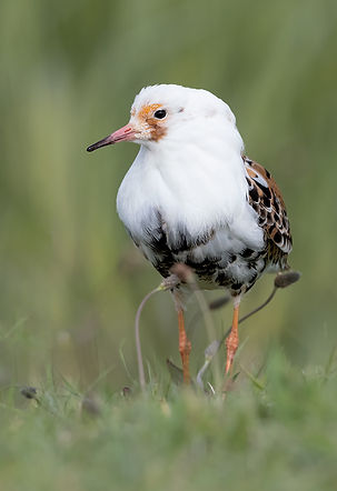 Vogelfotografie, Kemphaan in prachtkleed.