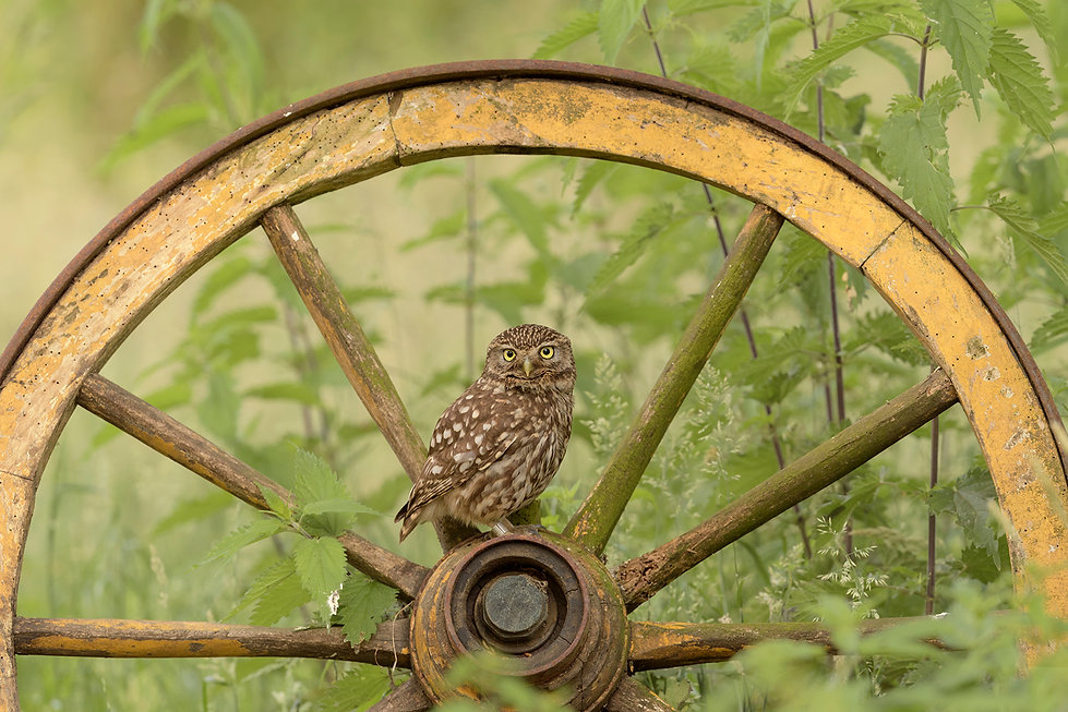 Steenuil op wagenwiel.
