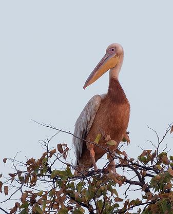 Pink-Backed-Pelican (Kleine Pelikaan)